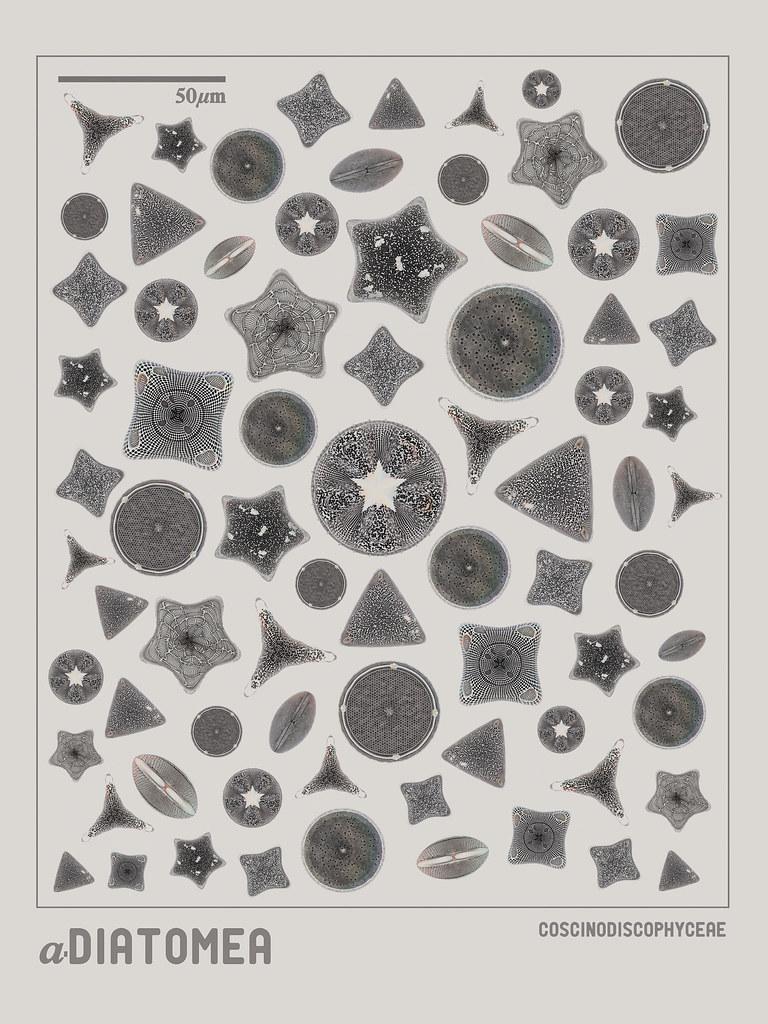 Diatomea