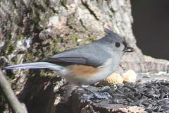 Tufted Titmouse (tvbare) Tags: bird nature rural canon rebel missouri titmouse tufted xsi bentoncounty missouribirds tvbare