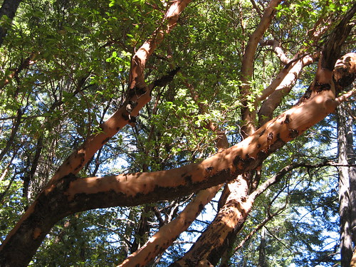 Red-orange Madrone