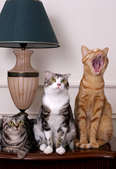 Real cats (wajoan()) Tags: cats pets cute canon photography mix taiwan kittens nopeople neko taipei   yawning gingercat   oneanimal younganimal beautifulcat   animalthemes     taiwancats  lmaoanimalphotoaward