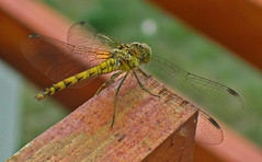 Csipkeszrny / Lace winged (ssshiny) Tags: insect dragonfly rovar szitakt