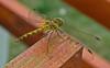 Csipkeszárnyú / Lace winged (ssshiny) Tags: insect dragonfly rovar szitakötő