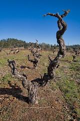 California Vineyards Winter (Kurt Preissler) Tags: california county winter vintage vineyard vines wine vine winery vineyards making amador vino winemaking wein vinery californiawines weinberge appellation winegrowing californiacentralvalley kurtpreissler preisslermediaservices