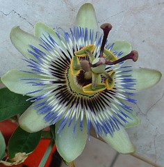 View Passion Flower on Flickr
