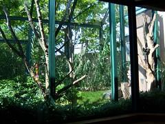 Philadelphia Zoo - Sifaka Exhibit (fkalltheway) Tags: lemur madagascar philadelphiazoo sifaka pecoprimatereserve coquerelssifaka fkalltheway