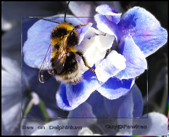 bee on delphinium (Guy@Fawkes) Tags: blue flower nature insect creative bee moment delphinium flowersarebeautiful saariysqualitypictures thebestofmimamorsgroups