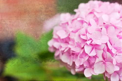 [フリー画像] 花・植物, アジサイ科, 紫陽花・アジサイ, ピンク色の花, 201010240700