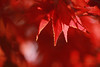 Red Maple 2010 version (DSLR_MANIA) Tags: autumn red orange fall leaves canon eos leaf korea seoul southkorea 韓國 markii 한국 대한민국 republickorea zuidkorea республикакорея 5dmarkii dslrmania 5dm2 5dmark2 ef100mmf28lmacroisusm republiquedecoree poblachtnacoire 大韓民 canonef100mmf28lmacroisusmcanonef100mmf28lmacroisusm leaveportrait