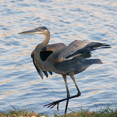 weekend boogie-woogie (aokcreation - part-time) Tags: bird heron nature animal closeup wildlife ngc greatblueheron birdwatcher topshot naturesfinest 200mmlens sony350 thewonderfulworldofbirds qualitygold