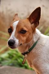 Old Soul (Lauren Barkume) Tags: africa portrait dog pet brown white green face look eyes southern ear wise collar jackrussel mozambique laurenbarkume