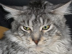 Owl or cat? ;-) (GloryGlory) Tags: cats chats gatos mainecoon gats gloryglory thebiggestgroupwithonlycats