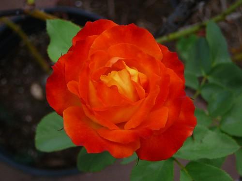peace_rose_70831