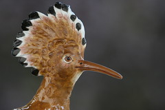 hoopoe -  Wiedehopf, china, Villeroy & Boch (andreasgraemiger) Tags: china macro bird art closeup luxembourg hoopoe vogel porzellan villeroyboch villeroy boch geflgel blueribbonwinner septfontaines goldenmix ucello anawesomeshot aplusphoto macromix colourartaward wonderfulworldmix excapture vonboch