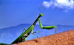 If I ruled the world... (Emilofero) Tags: blue sky macro green fauna mantis bulgaria narure  naturesfinest rodopi  outstandingshots mywinners abigfave anawesomeshot impressedbeauty