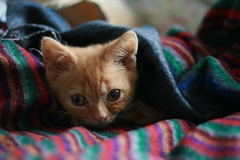 tucked up (Adam Greig) Tags: kitten kitty zeb