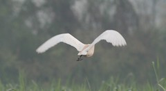 Egret flying (anujm) Tags: flying egret smallegret egretinflight flyingegret