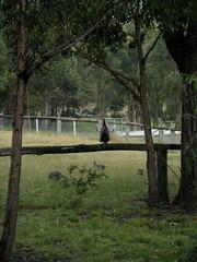Noisy fowl