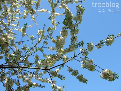 wild cherry in blossom