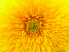 Double Santa Fe Sunflower Up Real Close 002 (Chrisser) Tags: flowers summer ontario canada nature garden gardening fourseasons sunflowers macros closeups asteraceae helianthus sobeautiful flowerfactory olympuscamediac765 onlythebestare