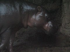 IMG_0116 (vuturistic) Tags: zoo hippo hippopotamus pygmyhippo louisvillezoo