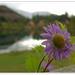 shangrila flower