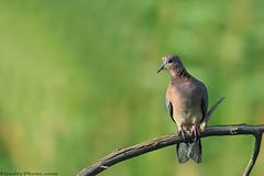 collared Dove -    (A.alFoudry) Tags: life wild tree bird nature canon eos bokeh dove wildlife birding sharp kuwait usm  ef kuwaiti collared q8 30d abdullah 400mm   kuw canoneos30d q80 f56l  xnuzha alfoudry canonef400mmf56lusm greenbokeh  abdullahalfoudry foudryphotocom  kvwc kuwaitvoluntaryworkcenter