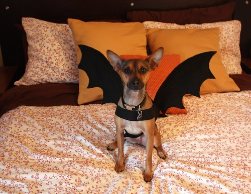 After the success of Whiskeyu0027s taco costume last year (tutorial here!) I had to think of something new for him this year that was both comfortable for him ... & Tutorial: Dog Bat Costume - Life at Cloverhill