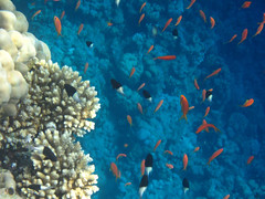 Coral Fish (Photography By Pixie) Tags: travel blue red sea fish tourism water coral swimming gold underwater tour goldfish dive egypt conservation scuba diving research anemone coralreef underwaterphotography underwaterphoto smallfish