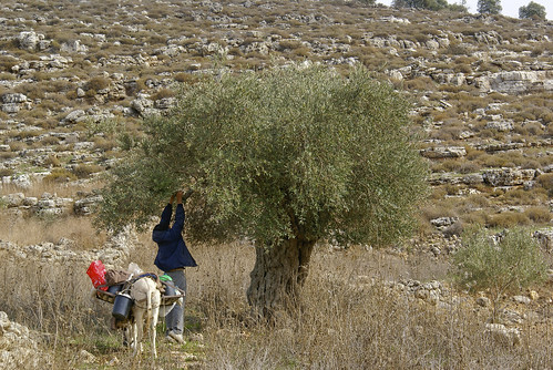 Olive Harvest, Tell, Palestine