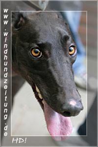 Greyhound_Vigorous Diego