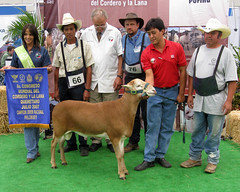 Showing sheep in Mexico