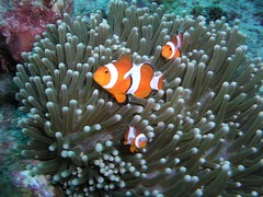 Clownfish (John & Pam Owens) Tags: animals underwater philippines scuba diving clownfish aplusphoto mindanaoisland