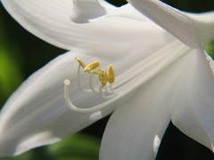 August Lily (audreyjm529) Tags: white flower macro green yellow petals lily august stamen anther augustlily fantasticflower flowershare picturefantastic