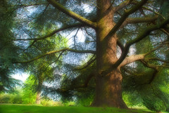 Blue Atlas Cedar (prakashodedra) Tags: uk blue trees england house green nature gardens gold nikon peace leicestershire calm cedar atlas platinum loughborough orton atlantica glauca kegworth thepca cedrus whatton d80 prakashodedra treesubject photofaceoffwinner photofaceoffplatinum likeitornotwinner challengesandcommentswinner photofaceoffwinnerplatinum photofaceoffwinnergold pfogold challengesandcommentswinnerorton pcagreen