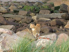 Tiger on the Rocks (Queenbie) Tags: sea beach cat rocks aberdeenshire stonehaven