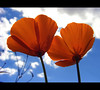 Love Me Two Times (ecstaticist - evanleeson.com) Tags: blue sky orange cloud white flower macro nature bravo poppy themoulinrouge flickrsbest gtaggroup spselection ectopf 07top
