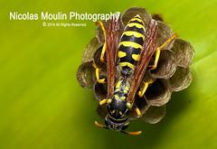 Cuento Africano: Ngongwa (Nicolas Moulin (Nimou)) Tags: wasp avispa naturesfinest guepe supershot 25faves aplusphoto flickrdiamond bratanesque