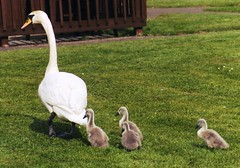 Female Swan with cygnets (silky4alien) Tags: swans cygnets