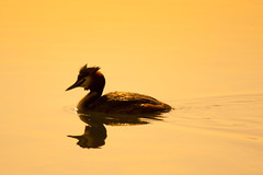 Evening Swim (Aylesbury_Mark) Tags: sunset england lake bird water swim evening ripple calm reservoir tring hertfordshire grebe greatcrestedgrebe podicepscristatus tringreservoir canoneos500d canonefs55250mmf456is