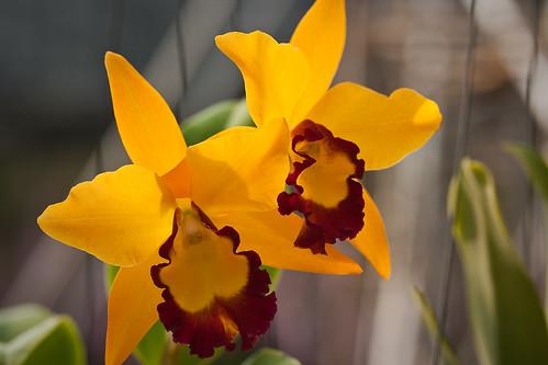 Orchids at Nong Nooch Tropical Garden