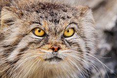 Intense female Pallas' cat