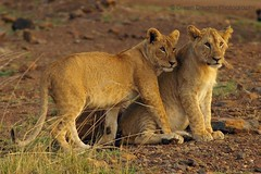 Lion Cubs (GreenDreamsPhotography) Tags: cub kenya wildlife lion safari bigcat simba predator kenia bigfive masaimara leeuw maasaimara roofdier katachtige welpje flickrbigcats