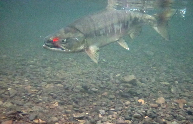 Fishing for chum salmon