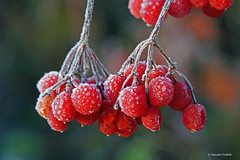 Iced berries (dorena-wm) Tags: red rot ice nature frost berries dof bokeh hoarfrost natur eis raureif mywinners berren elitegalleryaoi mygearandmepremium mygearandmebronze mygearandmesilver mygearandmegold dorenawm mygearandmeplatinum mygearandmediamond