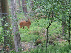 A roe in the forest at Niersen (tijmenkroes) Tags: ilovenature roe ree naturesfinest supershot flickrsbest niersen flickrelite searchandreward