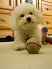 I love my ball... (FlyNutAA) Tags: love bichon bichonfrise bolognese whitedog supershot