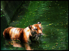 Tiger (Midhun Manmadhan) Tags: colour water canon zoo golden is indian tiger powershot whiskers s3 naturesfinest