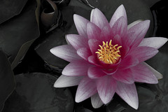 Pink Lilly (The Six) Tags: white purple lilly muted