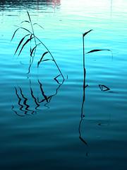 kaislat (mikkohei) Tags: summer water flora meri vesi kasvi kes kaislat