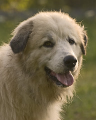 Sunrise Fidget (Flint-Hill (away)) Tags: fidget buckscounty greatpyrenees patou bucksco 3227 impressedbeauty superbmasterpiece